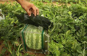Coltivazione angurie cubo