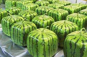 Produzione angurie cubo