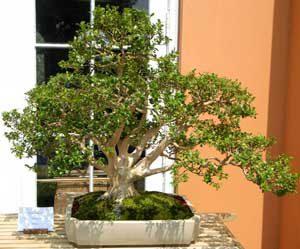 Come curare un bonsai e vivere meglio vivere zen - Cura dei bonsai in casa ...